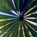 Looking up through a tropcial palm leaf