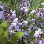 Flowers of a Pongamia tree