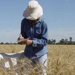 Researcher assessing a field crop