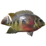Spotted Tilapia fish