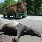 Roadkill on the side of a tropical logging road