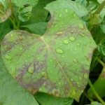 Sweetpotato leaf with a mottle virus