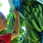 Researcher examining bananas by ABC Charlie McKillop