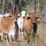 Beef cattle at Spyglass Research Facility
