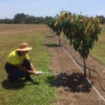 Researcher undertaking tests at a mango tree